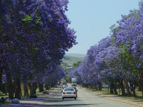 jacaranda lydenburg