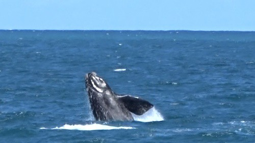 Jumping right whale